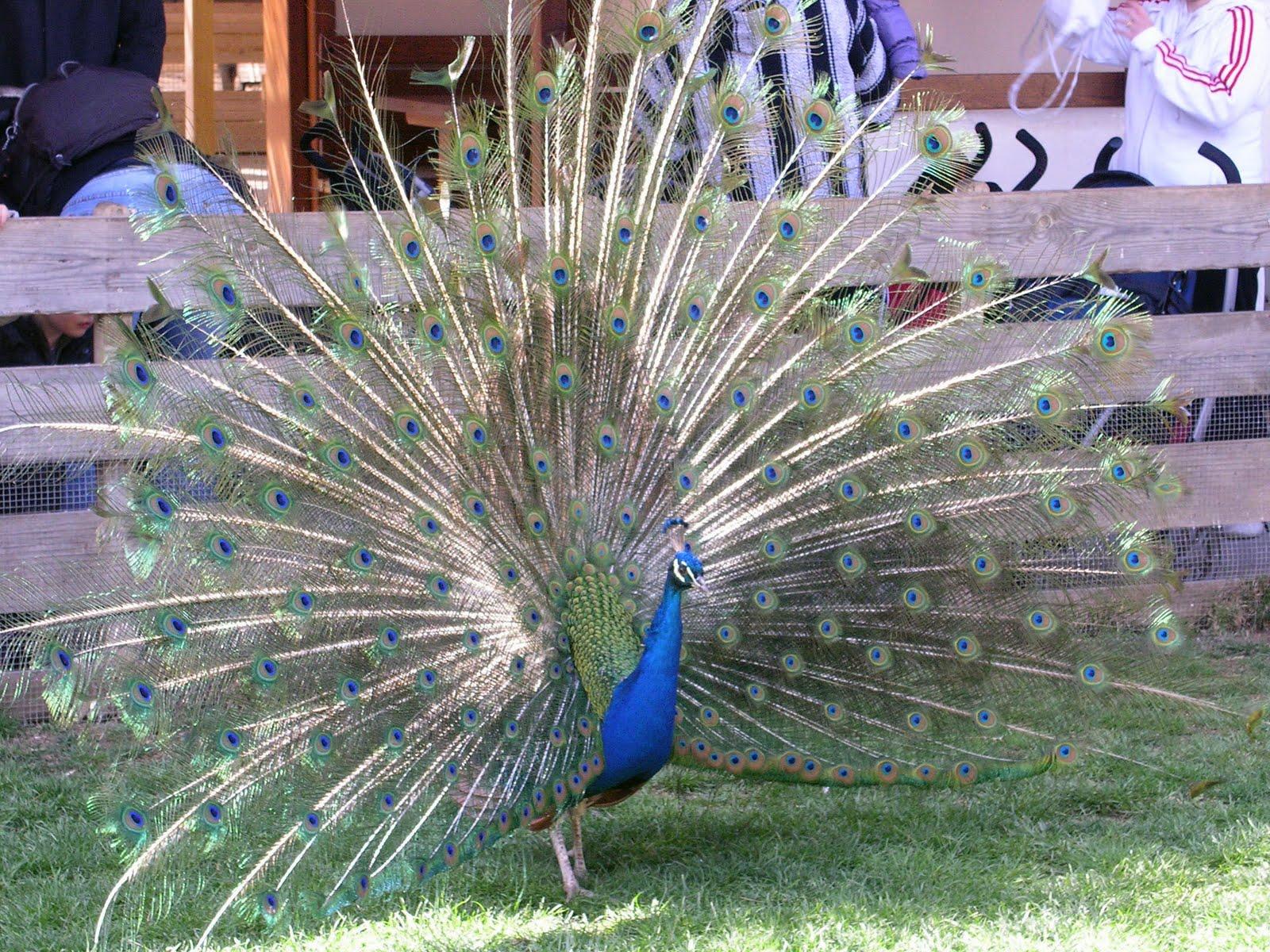 Foto de pavo real imagui - Fotos de un pavo real ...