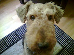 The world's greatest Airedale