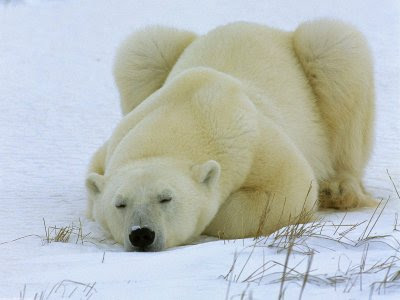 osos polares...exelentes fotos,lastima que...
