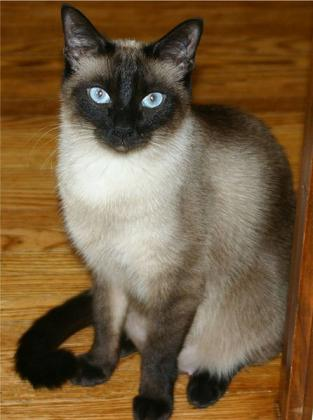 Balinese cat named Victor