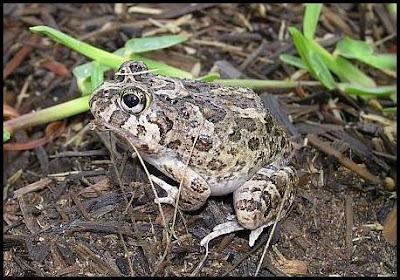 Backyard Frogs hunter valley backyard nature: #51 a summary of my backyard frogs