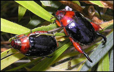 Hunter Valley Backyard Nature: #58 Christmas beetles get busy