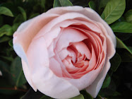 Lolly pink David Austin rose