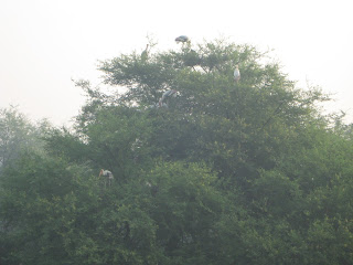 all the painted storks nest at the top of trees