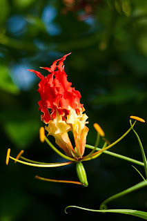 The Flame Lily (Gloriosa superba) or Niyagala photographed in Anuradhapura