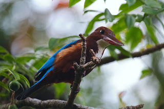 A White throated Kingfisher (Halcyon smyrnensis) photographed in sri Lanka