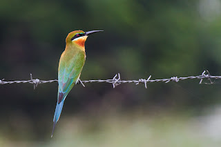 A Blue-tailed Bee-eater photographed in Anuradhapura, Sri Lanka