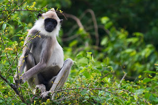 A Gray Langur photographed in Trincomalee, Sri Lank