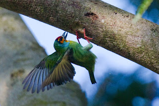 A Crimson Fronted Barbet (also known as the Ceylon Small Barbet) photographed in Kandy, Sri Lanka