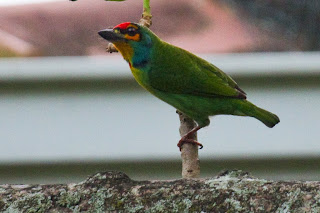 A Crimson Fronted Barbet (also known as the Ceylon Small Barbet) photographed in Colombo, Sri Lanka