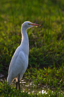 A Cattle Egret photographed in Battaramulla, Sri Lanka