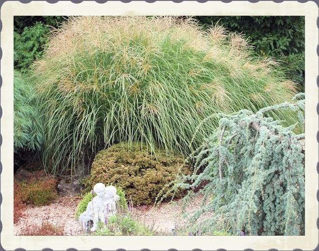 A guide to northeastern gardening fall garden maintenance for Maiden fountain grass