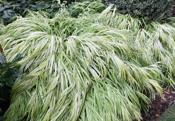 A guide to northeastern gardening grasses groundcovers for Japanese grass