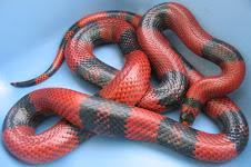 Hondurensis Milk Snake