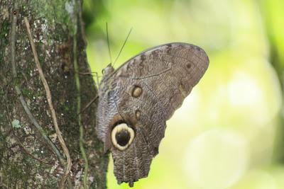 Caminata por la mañana por el bosque para ver algunas especies interesantes: este bicho aparenta un gran ojo para asustar a sus depredadores