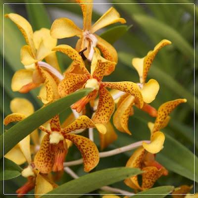 Bunga Orkid