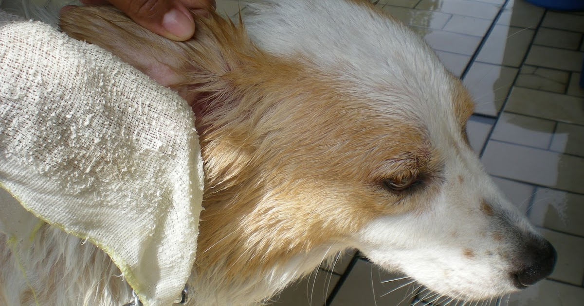 Ear Mites In Golden Retrievers Ear Mites In Golden Retrievers