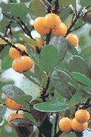 Does garcinia cambogia from dischem work