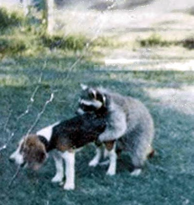 http://1.bp.blogspot.com/_zURGv9xJLgA/SNw2Ykf8cjI/AAAAAAAAARk/Fx3jTc7gARw/s400/raccoon.jpg