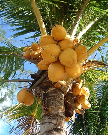 is coconut a fruit healthy vegetables and fruits