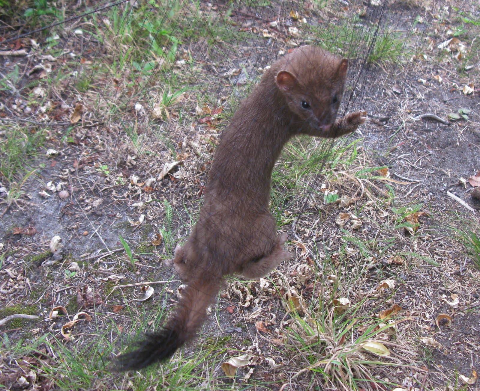mink coloring page - free coloring pages of weasel