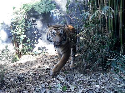 Sumatran tiger prowling