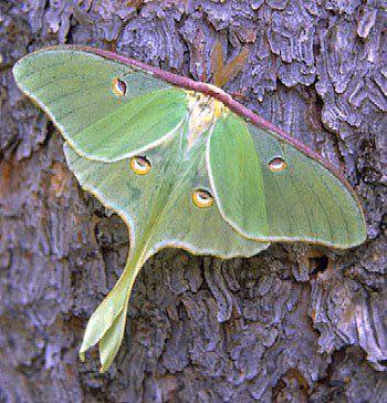 Zoe Nelson Artwear Luna Moth Blessing