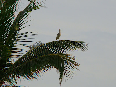 Lone bird on top of Coconut tree