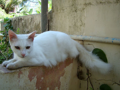 all white magnolian cat