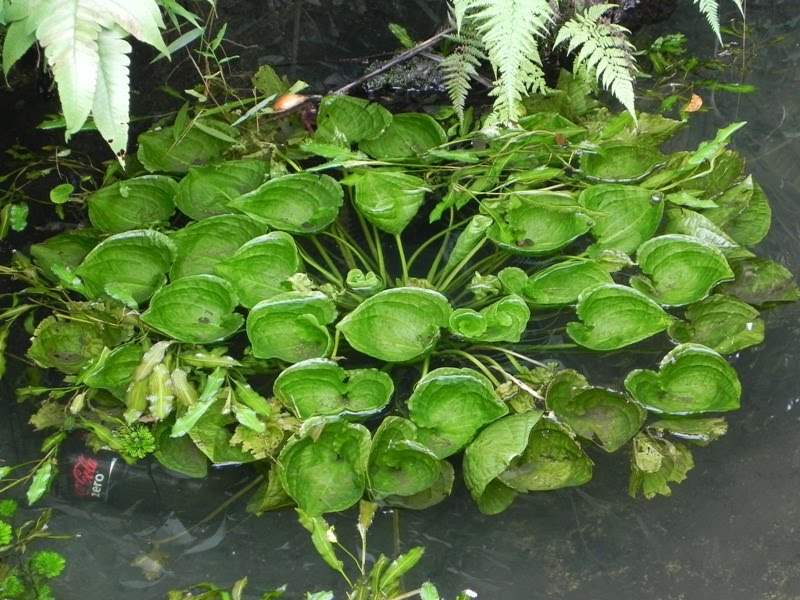 Our philippine trees the leafy patch of pond lettuce for Pond plants names