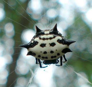 La araña espinuda o Gasteracantha cancriformis