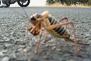 Extraño insecto con rasgos de muchas especies
