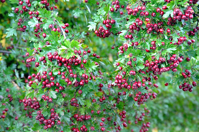 Hawthorn Tree Berries Hawthorn Tree Berries Edible