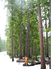Snow + Trees