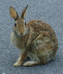 Sheena Bunny
