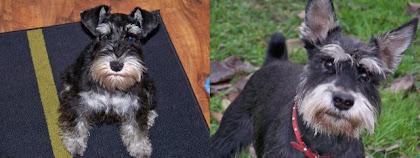 Moje psy - sznaucery miniatury