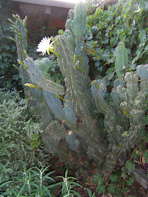 newbie here....what cacti is this???? 102_8686