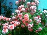 Rosas de santa Teresinha?