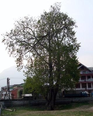 chenar tree