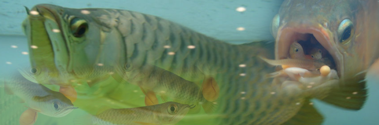 Arowana Fish Tank,in Aquarium,in Pond