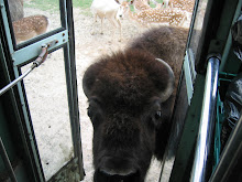 Bison tries to board my bus at Hollywild