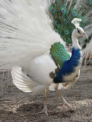 PAUNOVI I DIVLjE PLOVKE I DEO Blue+white+peacock+albino+peacock+mixed
