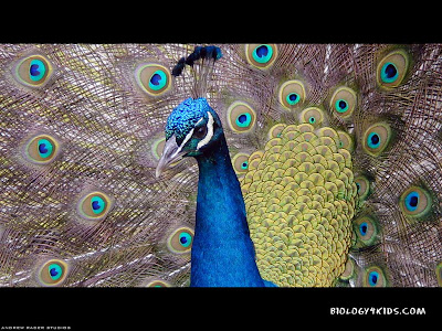 wallpapers of peacock feather. Peacock Wallpapers 1024x768