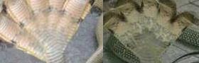 Hoax foto ular kobra berkepala lima dari Karnataka 3