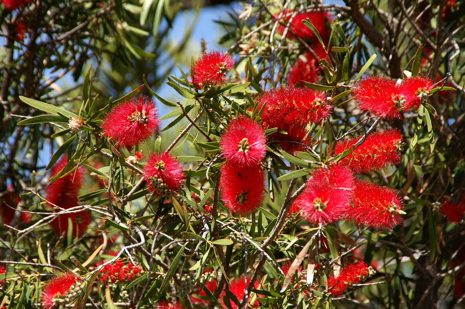 Other australian flowers barossa valley