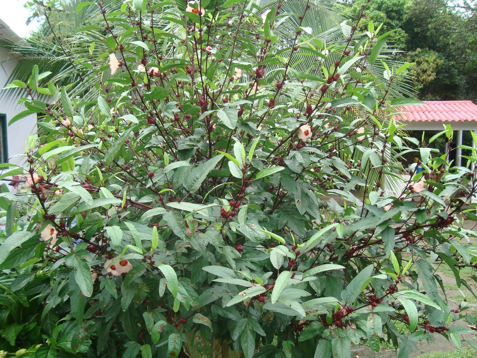 Flor De Jamaica Y Sus Propiedades Para Adelgazar Cmo