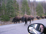 Buffalos on the road, Yellowstone parken, Wyoming, USA