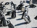 Pingviner i Sydafrika
