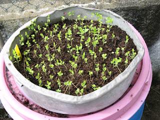 Manjericão semeado às centenas numa forma de alumínio