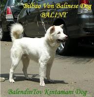 Bilbao Von Balinese Dog a.k.a. Balint